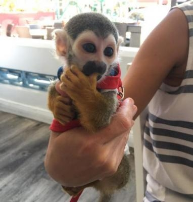 TOP QUALITY BABY SQUIRREL MONKEYS