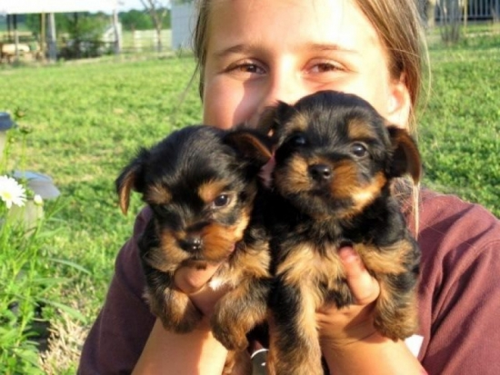 T-Cup Yorkie pups for adoption.