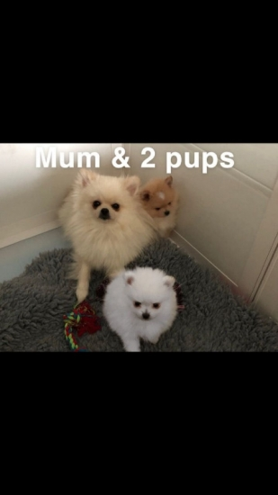 Purebred Baby T-Cup Pomeranian Puppies (4092101567